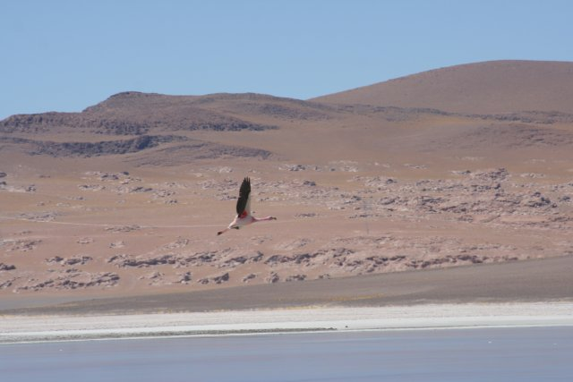 Chile-Salar-el-Laco-Flamingo