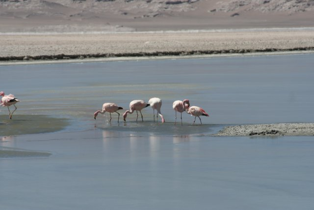 Chile-Salar-el-Laco-Flamingos